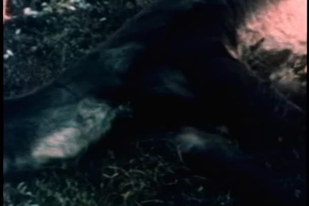Deux caribous blessés — Vidéo