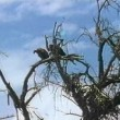 Stock Video: Two vultures sitting on tree branch