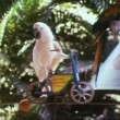 Parrot on miniature bicycle riding on tightrope — Stok video