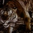 Stock Video: Growling tiger on prowl