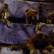 Stock Video: Monkeys climbing rock formation