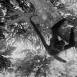 Stock Video: Monkey swinging from tree
