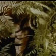 Tiger hiding in bushes — Stock Video