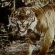 Growling tiger in the jungle — Stock Video