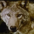 Stock Video: Close-up of wolves