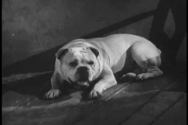 Bulldog tirado en el piso ladrando — Vídeo de Stock