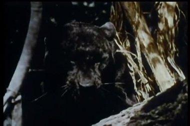 Montagem de animais selvagens - pantera, a hiena e a gazela — Vídeo Stock