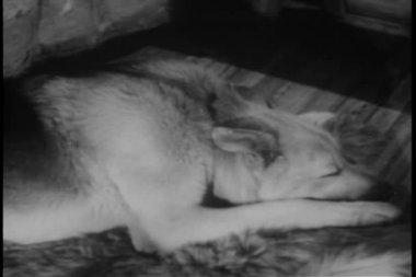 German shepherd waking up — Stock Video