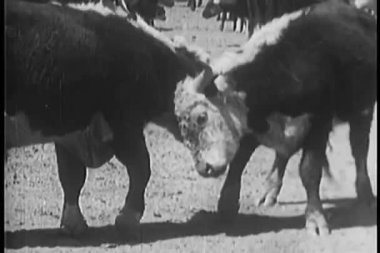 Two cows butting heads — Stock Video