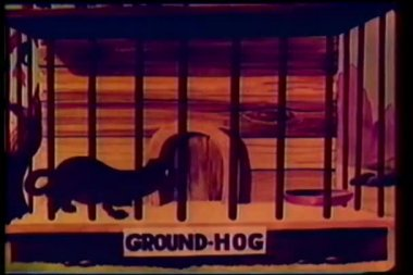 Fade in to cartoon of pacing groundhog in cage — Stock Video