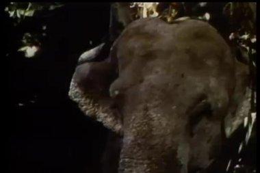 Elephant lifting its trunk — Stock Video