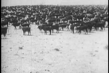 Herd of cows in pasture — Stock Video