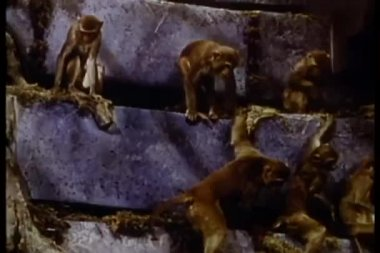 Monkeys climbing rock formation — Stock Video