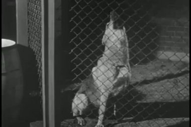 Howling dog in cage — Stock Video