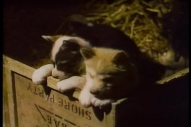 Two puppies in wooden box — Stock Video