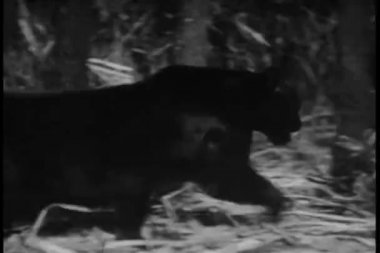Panther prowling through jungle — Stock Video