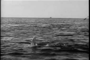 Polynesian men in boat attempting to harpoon shark — Stock Video