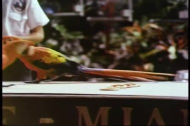 Parrot roller skating on miniature skates — Stock Video
