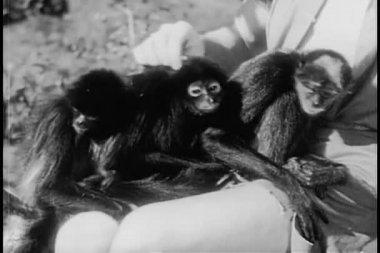 Three monkeys sitting in man's lap — Stock Video