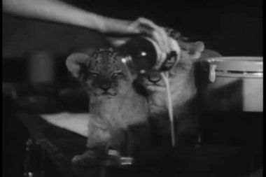 Close-up hand pouring canned milk for lion cubs — Stock Video