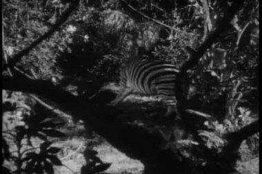 Montagem com medo de leões e zebras na selva — Vídeo stock