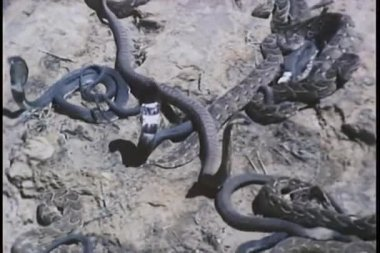 Close-up of snakes fighting on a rock — Stock Video