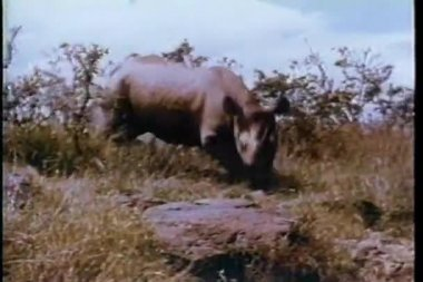 Rinoceronte atraviesa la selva de áfrica — Vídeo de stock