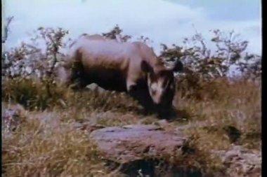 Rinoceronte in esecuzione attraverso la natura selvaggia dell'africa — Video Stock