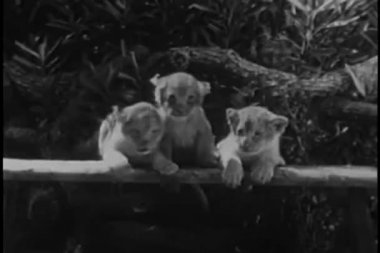 Three lion cubs leaning upright on bench in forest