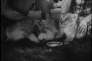 Three lion cubs at feeding time — Stock Video #26664943