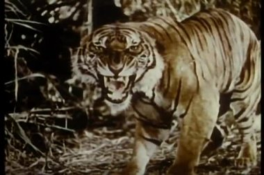 Knurren tiger im dschungel — Stockvideo