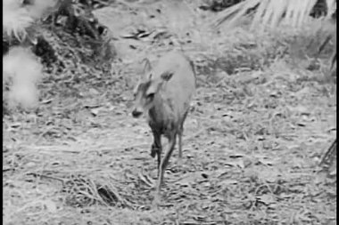 Baby antelope limping — Stock Video