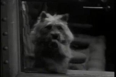 Hund pawing glasfönster — Stockvideo