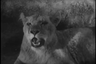 Lion yawning — Stock Video