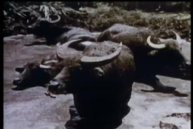 Water buffalo sitting in swamp — Stock Video