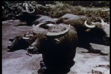 Vattenbuffel sitter i träsket — Stockvideo