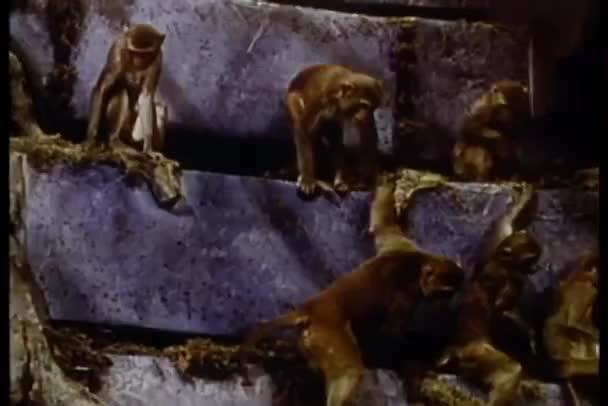 Monos escalada formación rocosa — Vídeo de stock