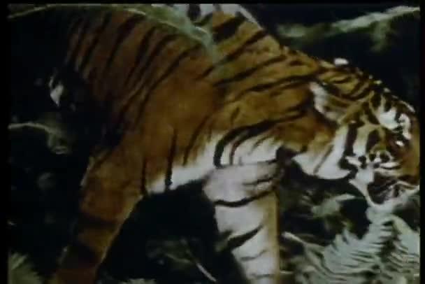 Tigre al acecho — Vídeo de stock