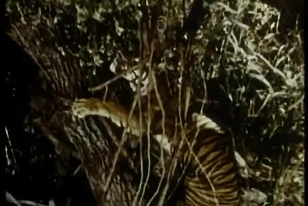 Árbol que sube tigre en selva — Vídeo de stock