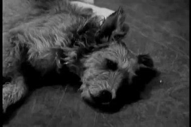 Dog relaxing on floor — Wideo stockowe
