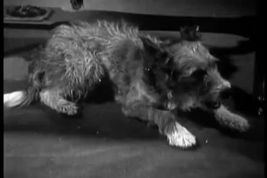 Dog relaxing on floor and yawning — Wideo stockowe