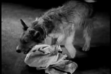 Dog playing with towel — Stockvideo