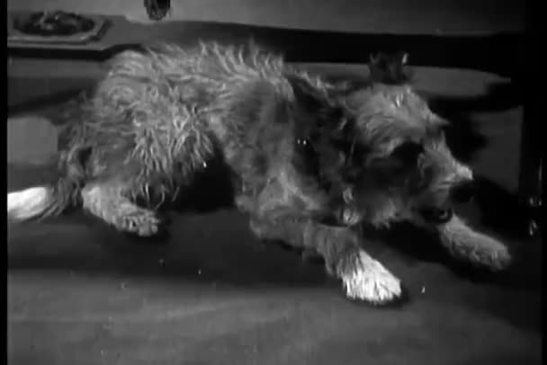 Perro relajante en piso y bostezando — Vídeo de stock