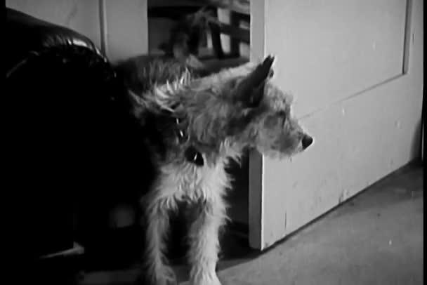 Perro viene a través de puertas abiertas — Vídeo de stock