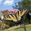 Stock Photo: Eastern Tiger Swallowtail (Papilio glaucus)