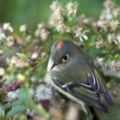 Ruby-crowned Kinglet, Regulus calendula - Stock Photo