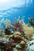 Red lionfish (Pterois volitans) on coral reef — Stock Photo