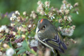 Ruby-crowned Kinglet, Regulus calendula — Stock Photo