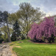 Stock Photo: Central Park spring cherry tree