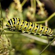 A Monarch butterfly (Danaus plexippus) caterpillar — Stock Photo